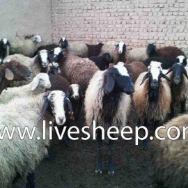 گوسفند زنده پیام
